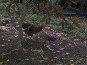 "Magpie checks out the ""ball-o-cabbage"""